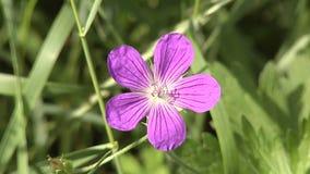 Robert Geranium blooms in the woods. stock footage