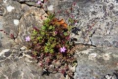 Robertianum del geranio del fiore nella parete di pietra Fotografia Stock
