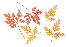 Robertianum presionado y secado del geranio de las hojas aislado imagen de archivo libre de regalías