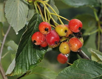Robertson's Whitebeam Berries. Sorbus x robertsonii Hybrid between the Common whitebeam and the Round-leaved Whitebeam royalty free stock images