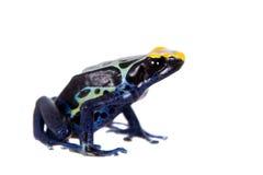 Robertus die de kikker van het vergiftpijltje, Dendrobates-tinctorius, op wit verven Stock Foto
