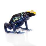 Robertus dyeing poison dart frog, Dendrobates tinctorius, on white Stock Image