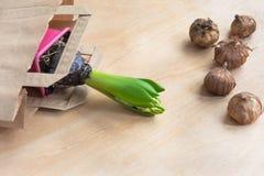 Robić zakupy papierową torbę z sadzonkowym hiacyntem i żarówki gladiolusy z bliska tło mleczy spring pełne meadow żółty Obrazy Stock