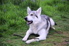 robiłem zdjęcia terenów jukonu, psi wilk Zdjęcia Stock