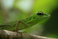 Robi kameleonu Bronchocela jubata w tropikalnych lasach Indonezja obrazy royalty free