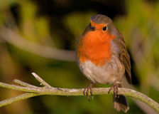 Robi. Is sitting on the branch Royalty Free Stock Photo
