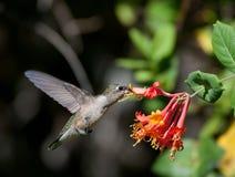 Robijnrode Kolibrie Throated   Royalty-vrije Stock Afbeeldingen