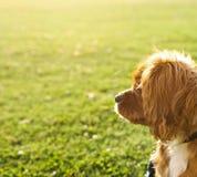 Robijnrode (Tan) Arrogante Koning Charles Puppy stock fotografie