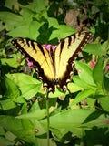 Robijnrode Vleugels stock afbeeldingen