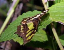 Robijnrode Vleugels stock afbeelding