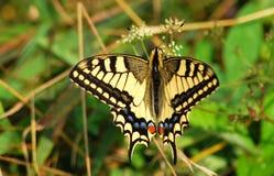 Robijnrode Vleugels Royalty-vrije Stock Afbeeldingen