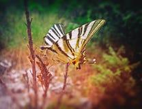 Robijnrode Vleugels Royalty-vrije Stock Foto