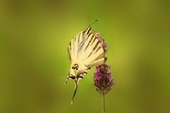 Robijnrode Vleugels Royalty-vrije Stock Afbeelding