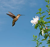 Robijnrood-Throated kolibrie Stock Fotografie