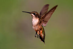 Robijnrood-Throated Kolibrie Royalty-vrije Stock Fotografie