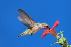 Robijnrood-Throated Kolibrie Stock Afbeelding