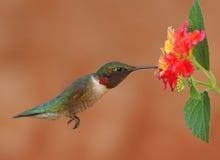 Robijnrood-Throated Kolibrie royalty-vrije stock afbeelding