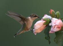 Robijnrood-Throated Kolibrie royalty-vrije stock afbeeldingen