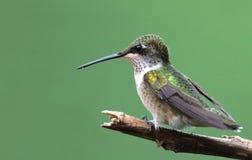 Robijnrood-Throated Kolibrie Royalty-vrije Stock Foto's