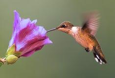 Robijnrood-Throated Kolibrie Stock Afbeeldingen