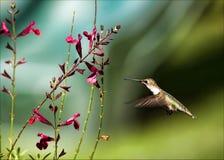 Robijnrood-Throated Kolibrie Royalty-vrije Stock Foto
