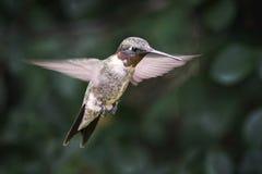 Robijnrood-Throated Kolibrie Archilochus Colubris Stock Foto