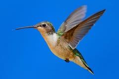 Robijnrood-Throated Kolibrie (archilochuscolubris) Royalty-vrije Stock Foto's