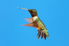 Robijnrood-Throated Kolibrie (archilochuscolubris) Royalty-vrije Stock Afbeelding