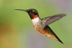 Robijnrood-Throated Kolibrie (archilochuscolubris) Stock Afbeeldingen