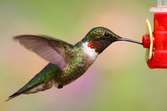 Robijnrood-Throated Kolibrie (archilochuscolubris) Royalty-vrije Stock Foto