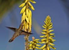 Robijnrood-Throated kolibrie (archilochuscolubris) Stock Foto