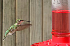 Robijnrood-Throated Kolibrie, colubris Archilochus Royalty-vrije Stock Foto
