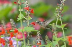 Robijnrood-Throated Kolibrie die de Rode Salie bestuiven stock fotografie