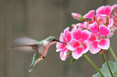 Robijnrood-Throated Kolibrie en Bloem royalty-vrije stock fotografie