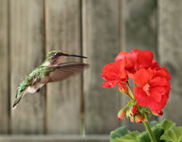 Robijnrood-Throated Kolibrie en Geranium stock foto's