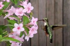 Robijnrood-Throated Kolibrie en Kamperfoelie royalty-vrije stock foto's