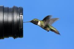 Robijnrood-Throated Kolibrie met een Camera Stock Fotografie