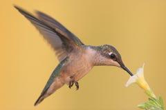 Robijnrood-Throated tijdens de vlucht Kolibrie Royalty-vrije Stock Afbeelding