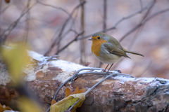 Robin鸟 免版税库存图片