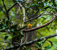 Robin à capuchon Images libres de droits