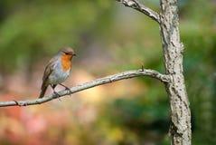 Robin était perché sur un branchement photographie stock libre de droits