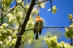Robin από κάτω από Στοκ Εικόνες