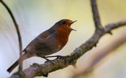 Robin επάνω ένα δέντρο Στοκ Εικόνες