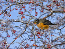 Robin καλυμμένο στο πάγος δέντρο που τρώει τα μούρα Στοκ φωτογραφίες με δικαίωμα ελεύθερης χρήσης