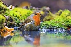 Robin με τις πτώσεις του νερού στα φτερά στη δασική λίμνη στοκ εικόνες