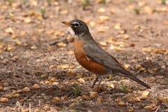 Robin που δείχνει με το ράμφος Στοκ Εικόνα
