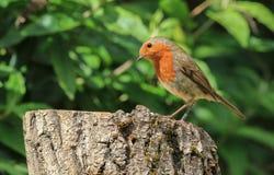 Robin που κάθεται σε ένα κούτσουρο στοκ φωτογραφίες με δικαίωμα ελεύθερης χρήσης