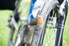 Robin που κάθεται στη ρόδα ποδηλάτων Στοκ εικόνα με δικαίωμα ελεύθερης χρήσης