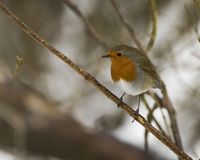 Robin που σκαρφαλώνει σε έναν κλάδο σε μια δασώδη περιοχή που κοιτάζει λοξά Στοκ Φωτογραφίες