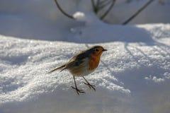 Robin που σκαρφαλώνει σε ένα snowbank στοκ εικόνα